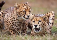 Endangered Species Safari at Busch Gardens