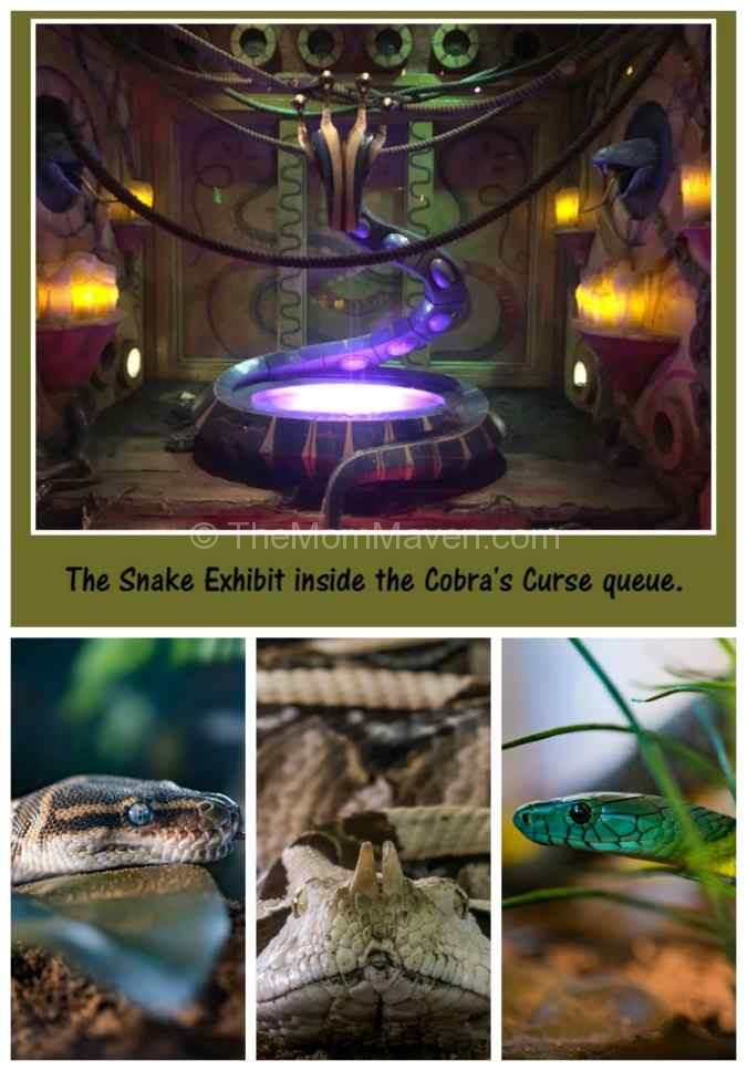 Inside the air conditioned Cobra's Curse queue at Busch Gardens Tampa, line there is a 400-cubic-foot snake exhibit!